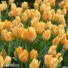 Tulipán batalinii Bright Gem 3