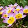 Tulipán Bakeri lilac Wonder 2