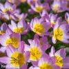 Tulipán Bakeri lilac Wonder 3