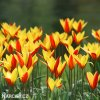 Tulipan Clusiana chrysantha 4