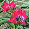 Tulipan Little beauty 5