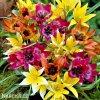 Tulipan Mix botanickych tulipanu 4