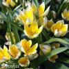 Tulipan Tarda dasystemon 3