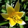 Tulipan Tarda dasystemon 5