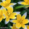 Tulipan Tarda dasystemon 1