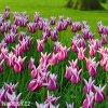Tulipany Claudia 4