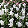Tulipany Tres chic 4