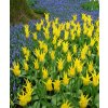 Tulipany West point 2