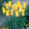 Tulipany West point 6