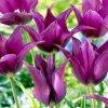 Tulipany Yume no murasaki 2