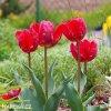 Tulipan Erna lindgreen 2