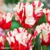 Tulipan Estella rijnveld 2