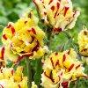 Tulipan Flaming parrot 2