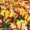 Tulipan Flaming parrot 5