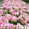 Tulipán papouškovitý - Green wave