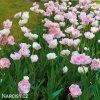 Tulipany Angelique 2