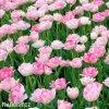 Tulipany Angelique 4
