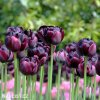 Tulipany Black hero 4