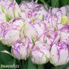 Tulipany Double shirley 2