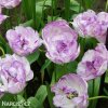 Tulipany Double shirley 3