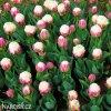 Tulipany Ice cream 3