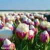 Tulipany Ice cream 4