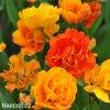 Tulipany Sunlover 2