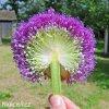 Česnek Allium Ambassador 4