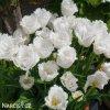 Tulipan Tulips Honeymoon 2