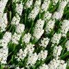 Hyacint Aiolos 3