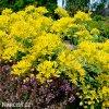 Allium Moly luteum 2