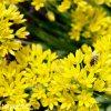 Allium Moly luteum 3