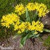 Allium Moly luteum 4
