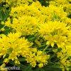 Allium Moly luteum 5