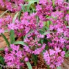 Česnek Allium Oreophilum 3