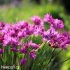 Česnek Allium Oreophilum 1