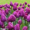 Tulipán Triumph Negrita 3