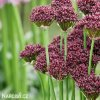 Česnek Allium atropurpureum 5