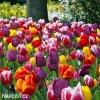 Tulipán Triumph směs 1