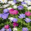 Sasanka nízká - Anemone Blanda směs