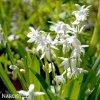 Ladonka sibirica alba 2