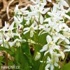 Ladonka sibirica alba 3