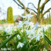 Ladonka sibirica alba 4