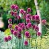 Česnek Allium Sphaerocephalon 4
