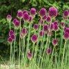 Česnek Allium Sphaerocephalon 5
