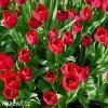 Tulipán Triumph Ile de france 3