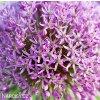 Česnek Allium Gladiator 2