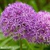 Česnek Allium Gladiator 4