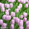 Tulipan Candy Prince 4