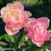Tulipany Pink Star 2